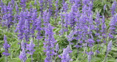 where to buy Salvia divinorum
