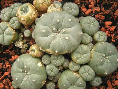 mescaline cactus