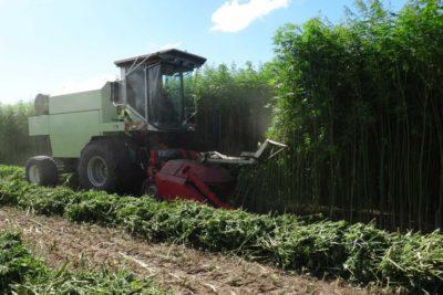 agricultural hemp