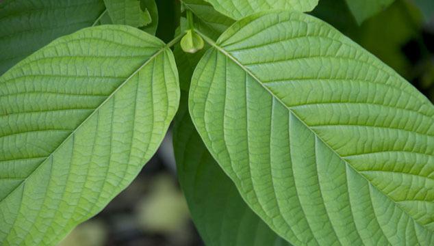 Green Vein Kratom Review: Effects&Dosage