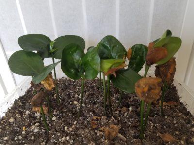 Akuamma plants