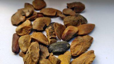 Akuamma seeds high
