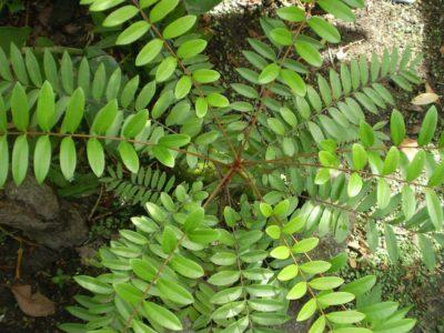 Tongkat Ali plant